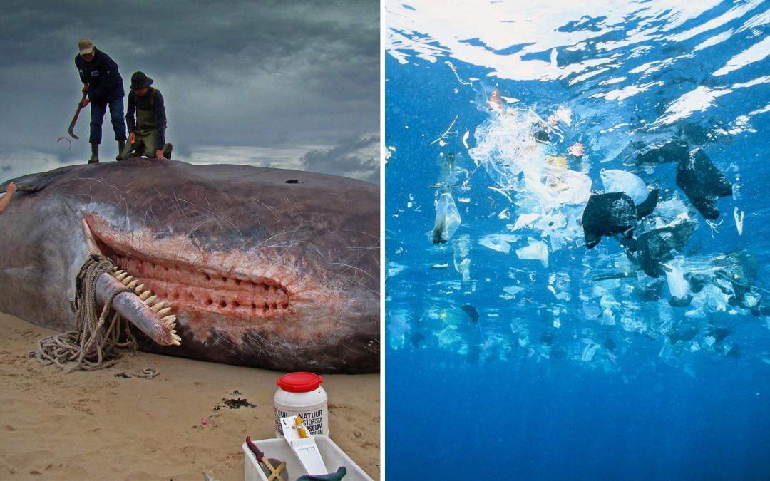Des baleines s'échouent avec le ventre rempli de déchets. L'urgence d'un changement