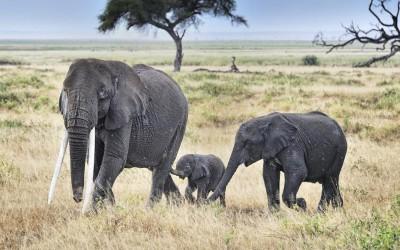 Déplacer 500 éléphants pour les sauver du braconnage: le projet titanesque du Malawi!